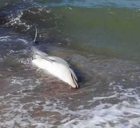 Ηλεία: Η θάλασσα ξέβρασε δύο φορές το ίδιο νεκρό δελφίνι