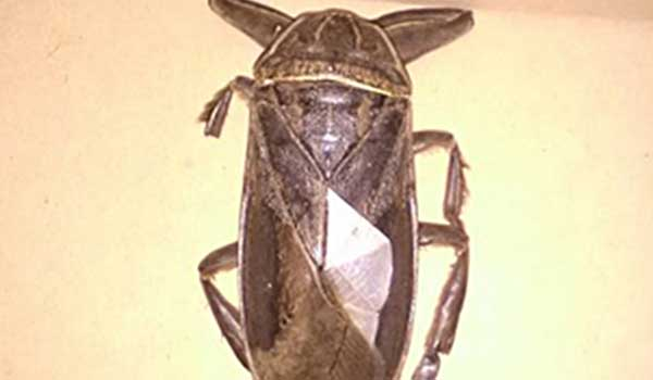 Εμφανίστηκε στην Ελλάδα το μεγαλύτερο σαρκοφάγο έντομο που ζει στην Ευρώπη