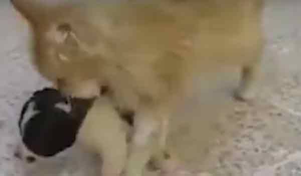 Γάτα άκουσε κουτάβι να κλαίει και αποφάσισε να το υιοθετήσει. Βιντεο