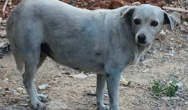Σοκ! Έβαψαν σκυλίτσα με μπλε χρώμα