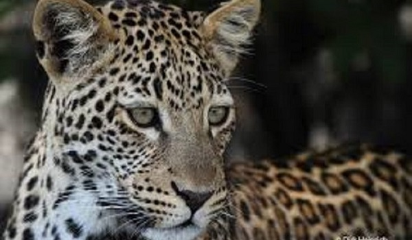 Η τρομακτική στιγμή που μια λεοπάρδαλη επιτίθεται σε πλήθος και κατασπαράζει 4 ανθρώπους