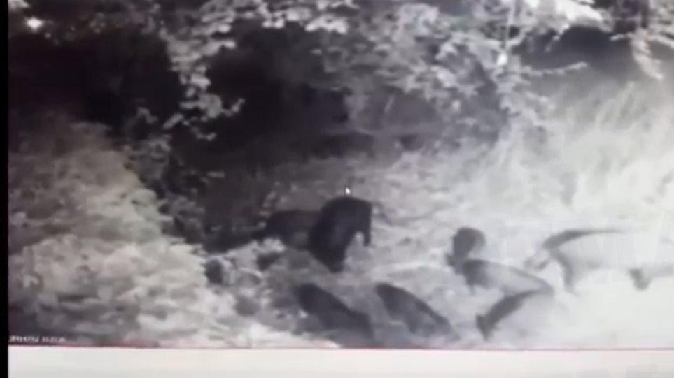 Απίστευτο βίντεο: Οικογένεια από μικρά αγριογούρουνα έκανε βόλτες στην Εκάλη