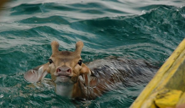 Εύβοια: Ψαράς πήγε για ψάρεμα και έπιασε ζωντανό ελάφι