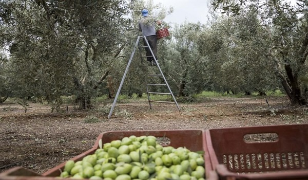 Ελιές: Φονικό βακτήριο ισοπεδώνει την παραγωγή σε Ιταλία και Ισπανία – Φόβοι για μετάδοση και στην Ελλάδα