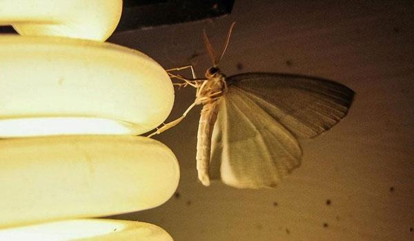 Γιατί τα έντομα πετούν προς τις λάμπες;