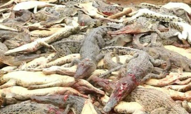 Έσφαξαν 300 κροκόδειλους για να εκδικηθούν για τον χαμό του φίλου τους