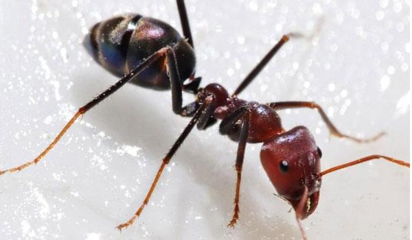 Δραπέτευσαν ένα εκατομμύριο μυρμήγκια κανίβαλοι. Σε πανικό οι επιστήμονες