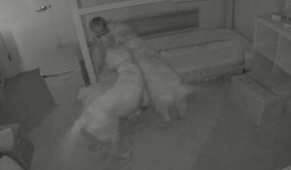 Επικό βίντεο: Δυο σκύλοι βοηθούν μπέμπα να το σκάσει από την κούνια της