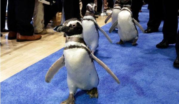 Πιγκουίνοι διέρρηξαν εστιατόριο σούσι στη Νέα Ζηλανδία!