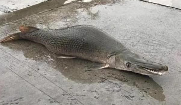 Ψάρι-τέρας σκόρπισε τον τρόμο στην Κίνα
