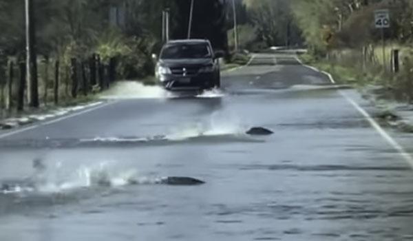 Ψάρια βγήκαν στη στεριά! Κοπάδι σολομών περνά τον δρόμο! Βίντεο