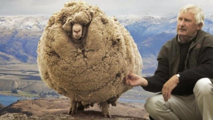 Πρόβατο κρυβόταν επί χρόνια για να μην το κουρέψουν. Όταν τον έπιασαν έβγαλαν 40 κιλά μαλλί