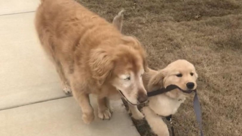 Τυφλός σκύλος απέκτησε οδηγό - κουτάβι κι έχουν γίνει αχώριστοι