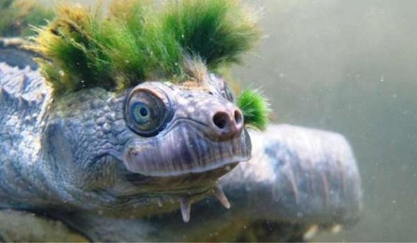 Χελώνα πανκ αναπνέει μέσω των γεννητικών της οργάνων