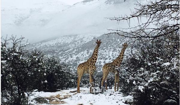 Χιόνισε στη Νότιο Αφρική:  Σαστισμένοι οι ελέφαντες και οι καμηλοπαρδάλεις.